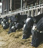 Modern farm cowshed with milking cows eating hay stock image