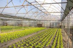 Modern farm for growing lettuce Royalty Free Stock Photos
