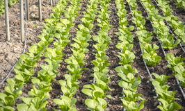 Modern farm for growing lettuce Stock Image