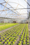Modern farm for growing lettuce Stock Photo