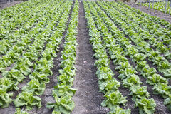Modern farm for growing lettuce Royalty Free Stock Photo