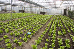 Modern farm for growing lettuce Royalty Free Stock Images