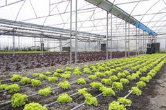 Modern farm for growing lettuce Stock Image