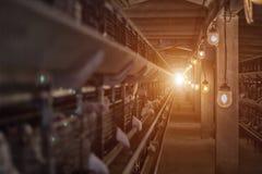 Modern feg coop, som gödkycklinghönor födas upp i för förbrukning i mat, fabrik royaltyfri foto