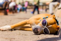 The dog is sleeping in the street wearing glasses royalty free stock photos