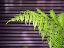 Modern garden: fern leaf purple wall Stock Photos