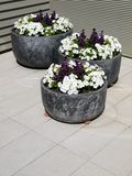 Modern garden: three planters white petunias royalty free stock photo