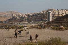 Modern goatherd in Israel Stock Photo