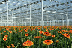 Modern greenhouse with orange gerberas Stock Photo