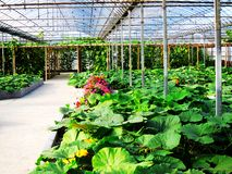 Modern greenhouses. Green vegetables in the greenhouse Stock Image