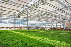 Modern hydroponic greenhouse or glasshouse interior inside, industrial agriculture stock photography