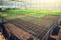 Modern hydroponic greenhouse interior with climate control, cultivation of seedings, flowers. Industrial horticulture royalty free stock photo