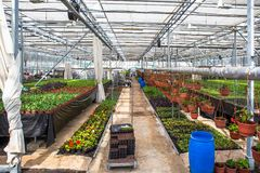 Modern hydroponic greenhouse interior with climate control, cultivation of seedings, flowers. Industrial horticulture. Toned royalty free stock photo