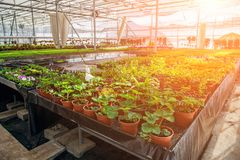 Modern hydroponic greenhouse in sunlight with climate control, cultivation of seedings, flowers. Industrial horticulture royalty free stock images