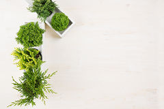 Modern interior with green young conifer plants in white box on beige wood board background with copy space top view. Royalty Free Stock Photo