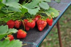 Modern jordgubbelantgård Industriellt lantbruk Royaltyfri Fotografi