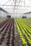 Modern landbouwbedrijf voor het kweken van sla Stock Afbeelding