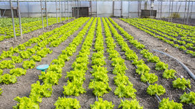 Modern lantgård för växande grönsallat Royaltyfria Foton
