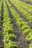 Modern lantgård för växande grönsallat Arkivbilder