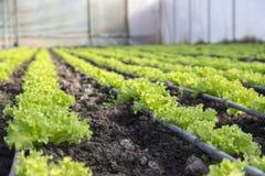 Modern lantgård för växande grönsallat Arkivfoton