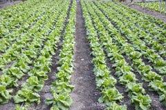 Modern lantgård för växande grönsallat Royaltyfri Foto
