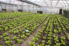 Modern lantgård för växande grönsallat Royaltyfria Bilder