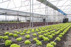 Modern lantgård för växande grönsallat Fotografering för Bildbyråer