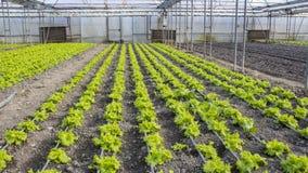 Modern lantgård för växande grönsallat Arkivbild