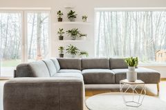 Modern living room interior. Tulips on a table near grey corner couch in modern living room interior with plants and window Royalty Free Stock Image
