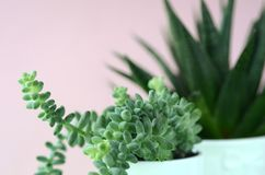 Modern minimalist home decor. Succulents on a solid color copy space. Succulent and cactus in a white flower pot on a solid color background with copy space royalty free stock photo
