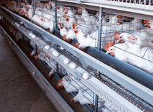Modern New Poultry Breeding and Egg Production, copy space, chicken farm, organic. Agriculture stock photos