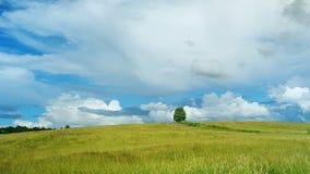 Modern och sLonely trädet på grönt fält mot backgroundon för blå himmel på åldern av ett år mot efterkrav och äter lösa blåbär i  stock video