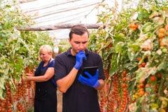 Modern och sonen med minnestavlan kontrollerar online-beställningar av skörden av den körsbärsröda tomaten i växthusfamiljeföreta Royaltyfri Bild
