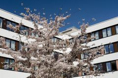 Modern office building with spring flowering cherry tree Royalty Free Stock Photos