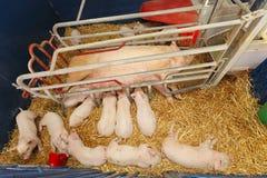 Modern pig farm Stock Photos