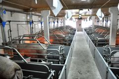 Modern pig farm with pigs. For high-tech animal breeding Royalty Free Stock Images