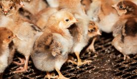 Modern poultry farm for the rearing of chickens for meat and eggs. Chickens broilers in a cage at the poultry farm royalty free stock photo