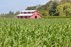 Modern Red Barn and Cornfield Royalty Free Stock Photography