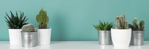 Collection of various potted cactus house plants on white shelf against pastel turquoise colored wall. Cactus plants banner. Modern room decoration. Collection stock image
