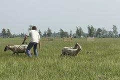Modern Shepherd with Sheep. Sheepherder is splitting the herd of sheep Royalty Free Stock Photo