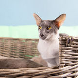 Modern siamese cat Royalty Free Stock Images
