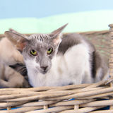 Modern siamese cat Royalty Free Stock Photography