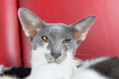 Modern siamese cat Stock Images