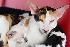 Modern siamese cat with kitten Stock Photos