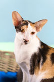 Modern siamese cat Stock Photo
