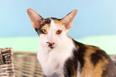 Modern siamese cat Royalty Free Stock Photo