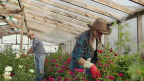 Modern small flower growing business. Colleagues florists work together with tablet computers in a greenhouse. 2 modern. Gardeners inspect flower buds together stock video footage