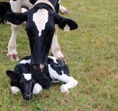 Modern står över hennes nya kalv på Pasture royaltyfria bilder