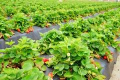 Strawberry farm. A modern Strawberry farm in USA stock images