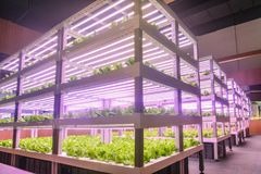 Modern Vertical agriculture. Led plant growth lamp used in Facility agriculture,Vertical agriculture,Indoor planting,Plant factory.Mimicking sunlight helps stock photos